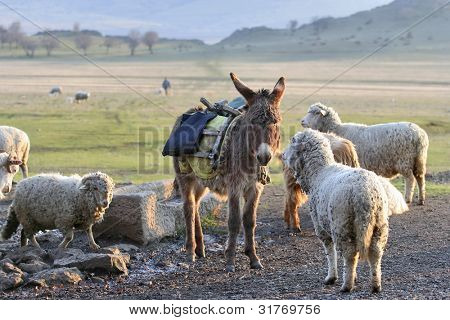 single donkey among herd of sheep