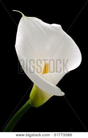 Lirio blanco con elegantes curvas aislada en negro