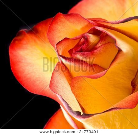 Fire-tipped: A yellow rose with red tips boldly contrasts on a black background.