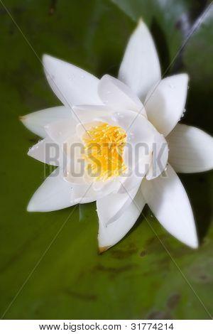 Weiße Seerose (Nymphaea Alba) in der Blüte auf dem See