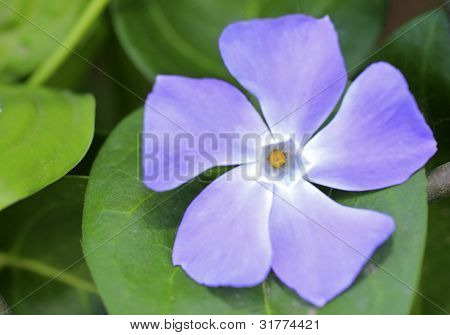 Vinca minor in color close up