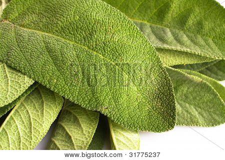 Sage leafs closeup
