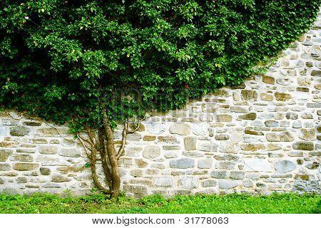 Hoja de la hiedra verde cubierta de pared.