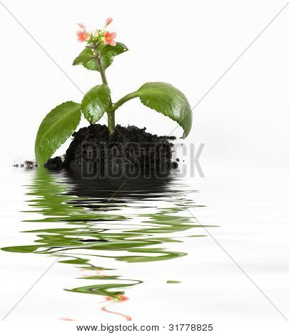 A little red flower in land, isolated on white background with water reflection