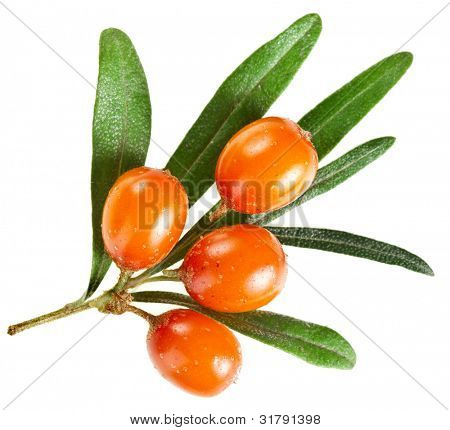 sea buckthorn branch isolated on the white
