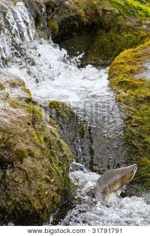 The humpback salmon rises upwards on falls