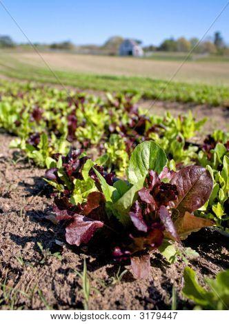 An Organic Lettuce Farm At Cape Cod Massachusetts