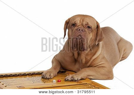 Dog lying on backgammon with chips and dices, isolated on white