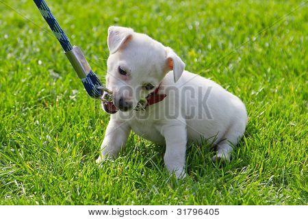 Lindo perrito primera vez con la correa
