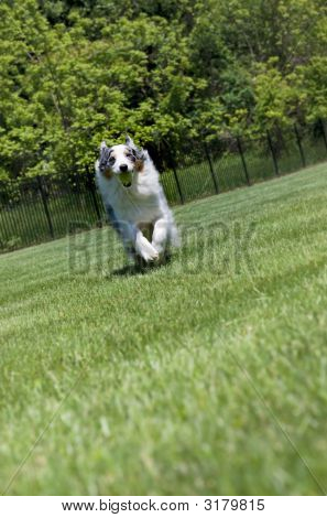 Blue Merle Tri-Color Australian Shepherd Running