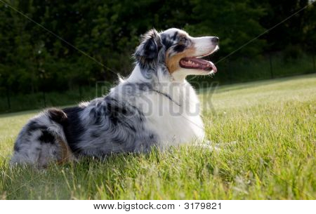 Blue Merle Tri-Color Australian Shepherd Lying Down