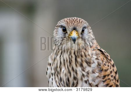The Staring Kestrel