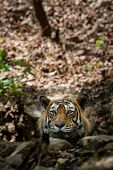 A Dashing And Handsome Looking Royal Bengal Wild Male Tiger Portrait With An Eye Contact. This Adult poster