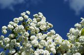 White Flowers In The Wild Against A Blue Sky With White Clouds poster