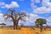 pic of baobab  - Baobab or boab - JPG