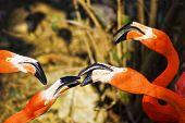 stock photo of eastern hemisphere  - Flamingos or flamingoes are a type of wading bird in the genus Phoenicopterus - JPG