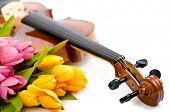 Постер, плакат: Скрипка и тюльпан цветы на белом