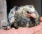 pic of pigeon loft  - Pigeon nestling little sitting on hand bird