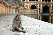 picture of hanuman  - Monkey temple Galwar Bagh in Jaipur - JPG