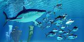 Mako Shark After Yellowfin Tuna 3d Illustration - A Carnivorous Shortfin Mako Shark Pursues A School poster