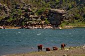 Eastern Kazakhstan. Peacefully Grazing Cows In Bayanaul National Natural Park. poster