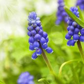 A muscari armeniacum flower or commonly known as grape hyacinth in a defocused spring garden. poster