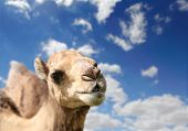 picture of hump day  - Camel head agaisnt sky on the background - JPG