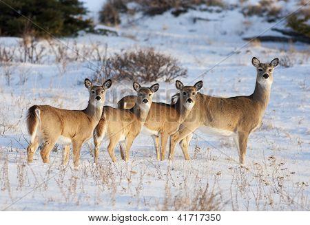 White Tail Deer Family