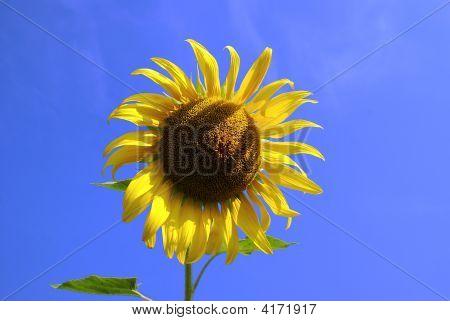 This Sunflower