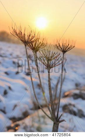 Wild Parsnip In Winter