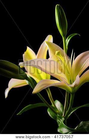 White Stargazer Lily Flower