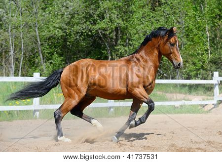 Bay horse of Ukrainian riding breed gallops on manege