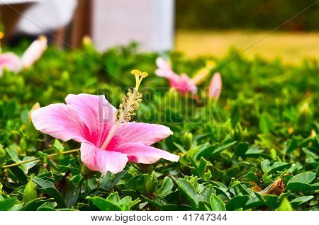 Chinese Hibiscus Pink