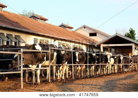 Dairy Farm And Milking Cows