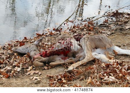 Dead deer, killed by coyotes