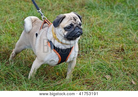 Pug On The Leash