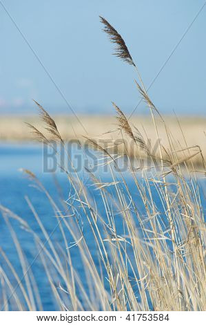 Swaying reeds in front of a blue lake