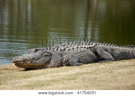 wild alligator sunning on golf course