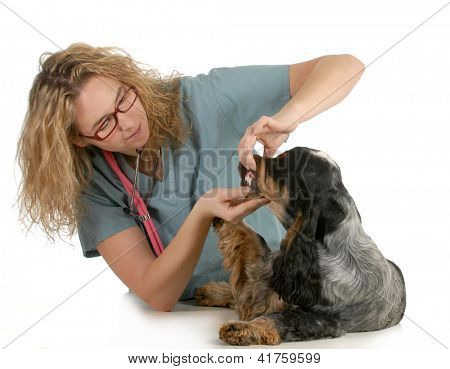 veterinary care - veterinarian examining dogs teeth on white background - english cocker spaniel