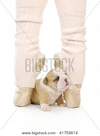 dancing puppy - english bulldog puppy sitting between feet of ballerina on toes