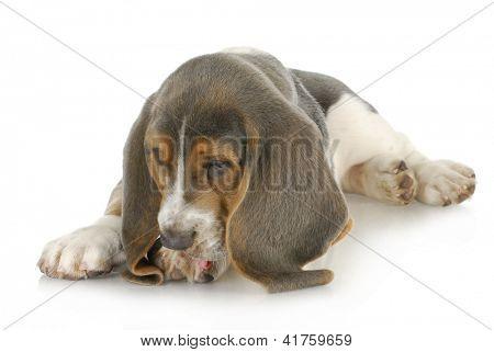 dog allergies - basset hound puppy licking foot with possible skin allergies