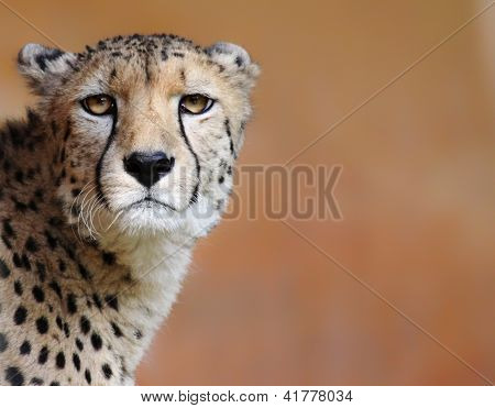 Female cheetah (Acinonyx jubatus)
