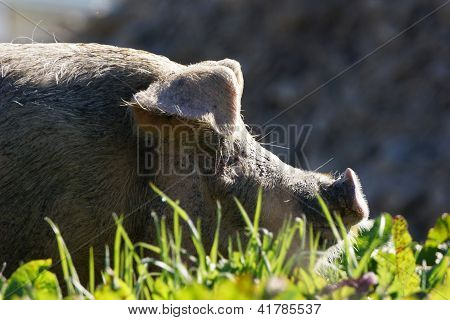 Pig In Profile