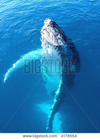 Portrait Of A Majestic Humpback Whale