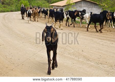 Close-up Of Goat With Herd In Background