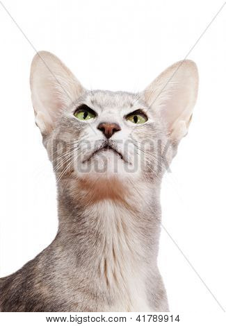 Portrait of arrogantly looking oriental shorthair cat