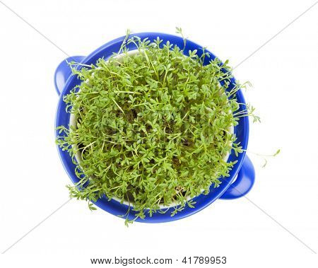 Garden Cress planted into a blue casserole, view from above
