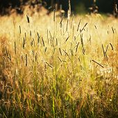 pic of paysage  - Tall grass in the warm evening sun - JPG