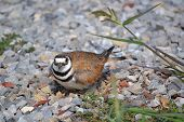 picture of killdeer  - nesting killdeer watching me take her photo - JPG