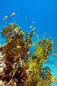 stock photo of fire coral  - coral reef with great yellow fire coral and fishes at the bottom of red sea  - JPG
